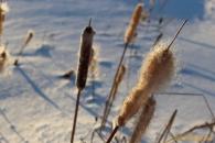 Fuzzy Cattails
