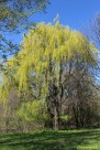 Gorgeous Weeping Willow