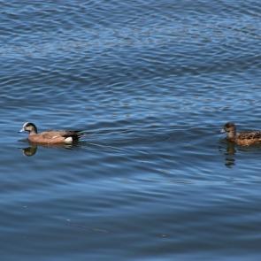 Pair of ducks