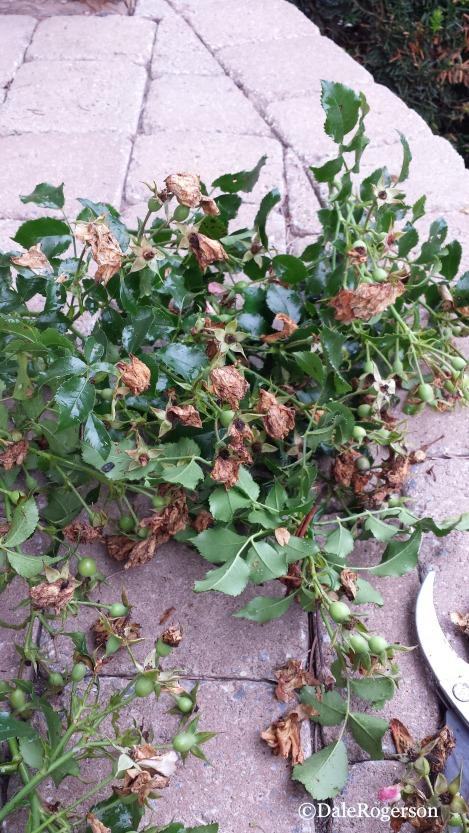 Un-ripe rosehips