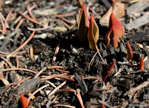 Tulip shoots