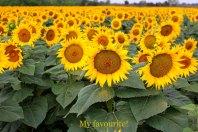 Sunflowers = Tuscany!