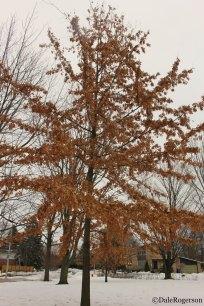 Marescent Oak